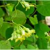 cách chữa bệnh trĩ bằng hoa thiên lý
